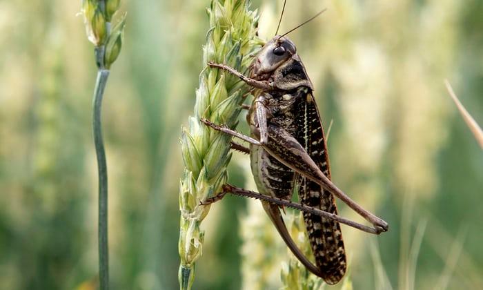 locust in Russia WC